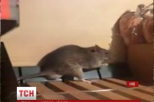 За хлебные полки с крысой киевскому супермаркету грозит штраф в тысячу гривен