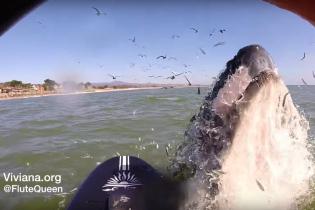 В Сети появилось невероятное видео, как стая китов атаковала сап-бордистов посреди океана