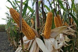 В селе на Полтавщине сгорело 90 гектаров кукурузы