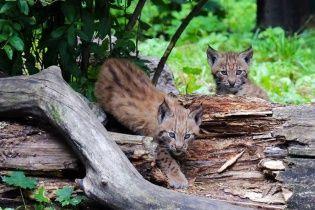 В киевском зоопарке родились рысята