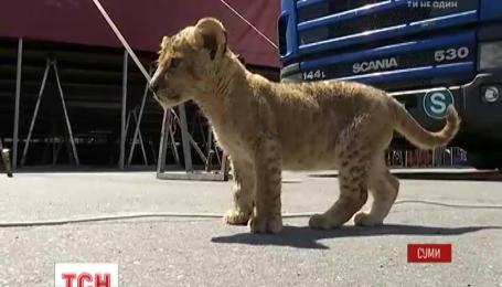 Працівників сумського цирку запідозрили в знущанні над маленьким левеням
