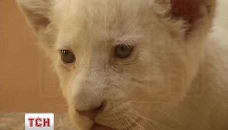 Сразу 5 белых львят родились в частном зоопарке под Киевом