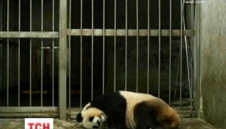 В Китайском исследовательском центре на свет появилась маленькая панда