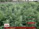 На Прикарпатті працівники СБУ виявили плантацію сортових конопель: рослини досягали 3 метрів