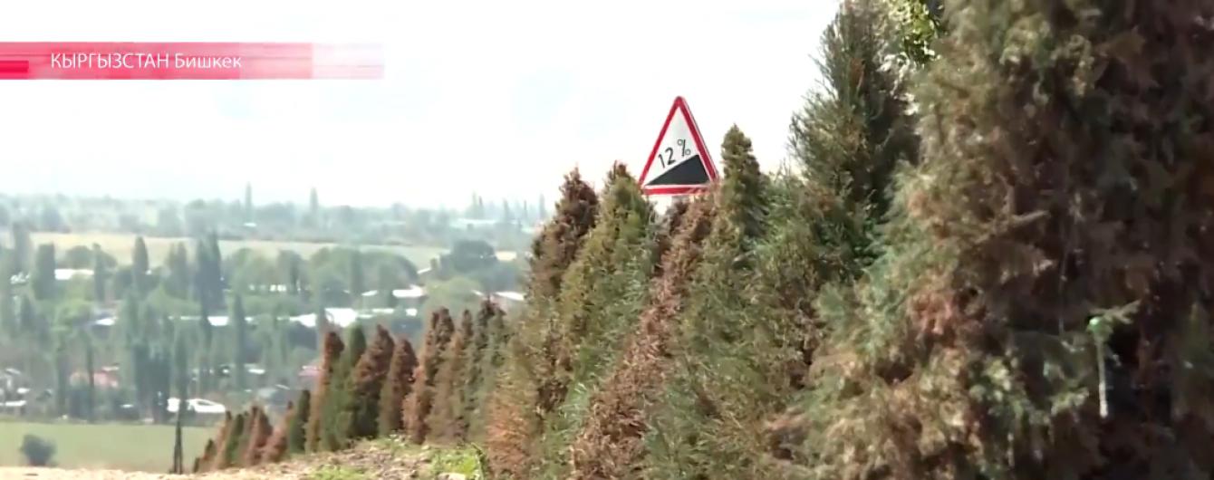 У Киргизстані пофарбували засохлі ялинки напередодні саміту СНД