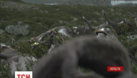 В Норвегии от удара молнии погибли более 320 диких оленей