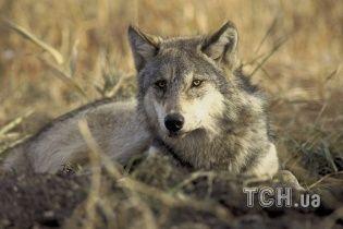 """На Тернопольщине селяне с лопатами и вилами загнали """"волка"""" в кроличью клетку"""