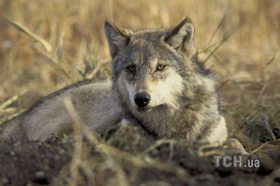 """На Тернопільщині селяни з лопатами і вилами загнали """"вовка"""" в кролячу клітку"""