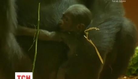 В зоопарке Филадельфии недельного младенца гориллы впервые показали посетителям