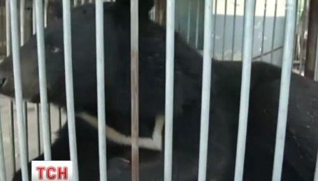В Китае раненный медведь прибежал в школьный двор за помощью