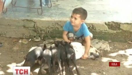 На Кубе собака усыновила пятеро новорожденных поросят
