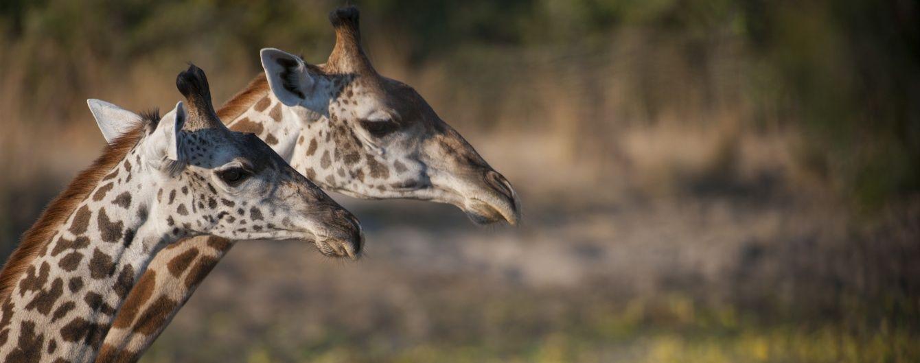 Генетики несподівано відкрили нові види жирафів