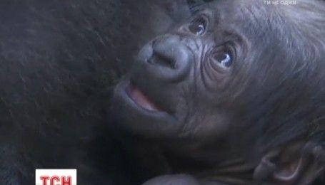 Посетители франкфуртского зоопарка получили возможность увидеть младенца гориллы