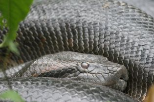 У Бразилії знайшли найбільшу в світі анаконду