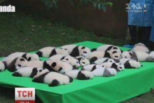 Одразу 23 пандочки показали в китайському зоопарку