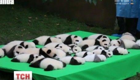 В китайском заповеднике Чэнду показали сразу 23 медвежат панды накануне дня КНР