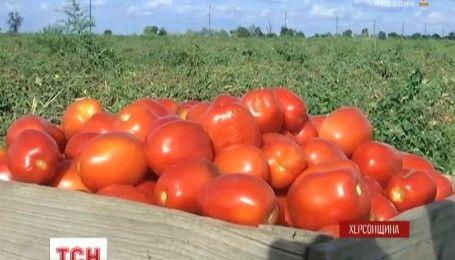 Помидорная катастрофа: фермеры на Херсонщине столкнулись с неожиданной проблемой