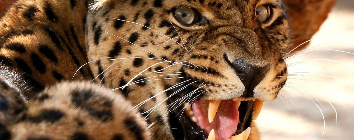 В РФ леопард напал на ребенка в зоопарке