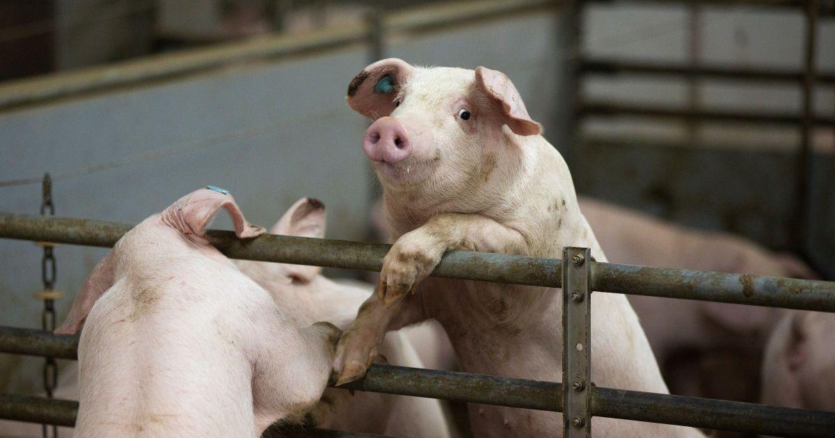 На Буковине зафиксировали африканскую чуму свиней