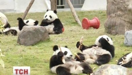 Первый фестиваль панд состоялся в Китае