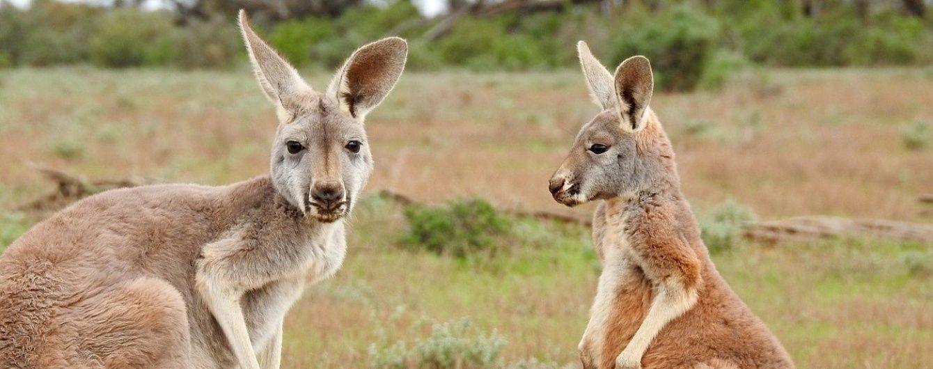 В Австралии агрессивные кенгуру атакуют туристов из-за сладких фруктов и фаст-фуда