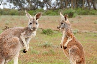 Австралійцям дозволили відстріл кенгуру