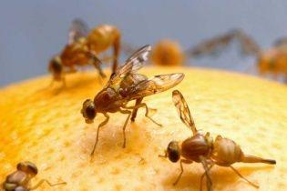 На новогодние столы украинцев везли зараженные опасной мухой мандарины