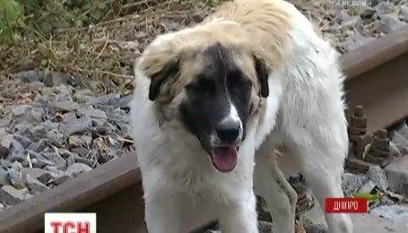 Дніпровський Хатіко: покинутий пес кілька днів сидить на рейках і чекає хазяїна-вбивцю