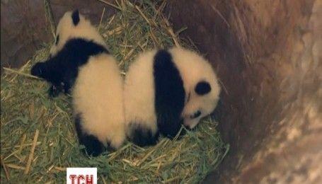 Посетители венского зоопарка наконец выбрали имена для новорожденных панд