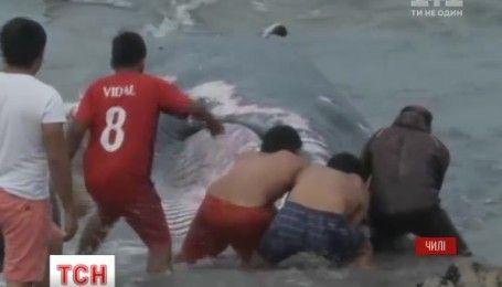 В Чили спасли кита, который выбросился на берег