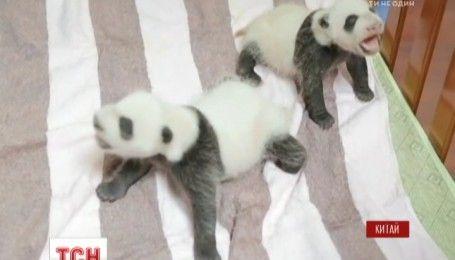 Трогательное воссоединение: в зоопарке после месячной разлуки маленьких пандочек вернули к маме