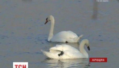 Врятувати лебедів: на Харківщині помирає пташина родина