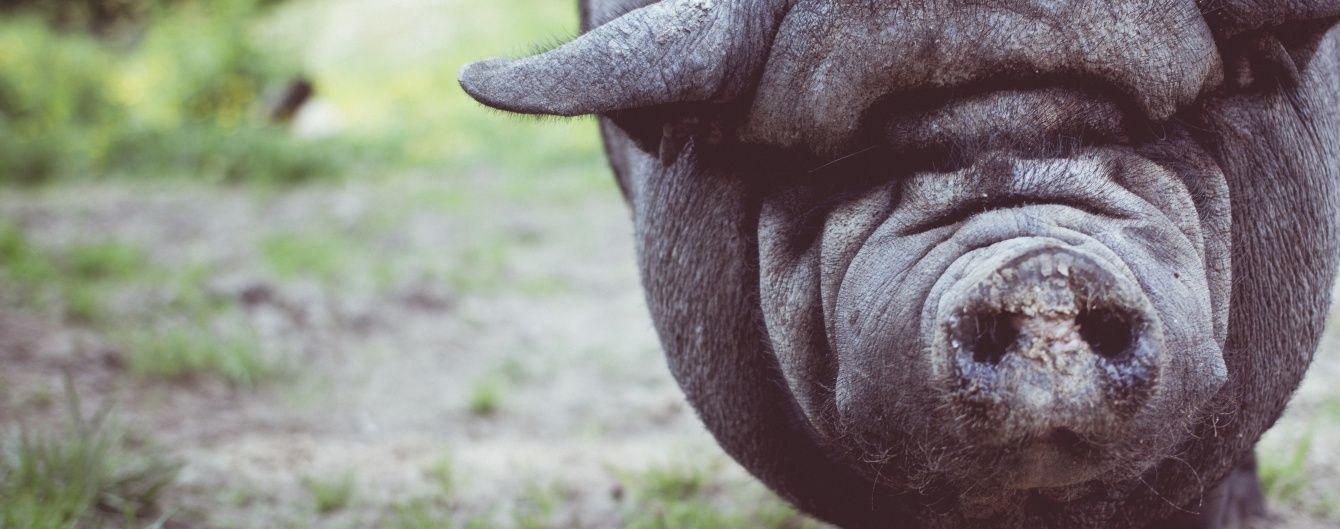 Під Києвом невідомі викинули на узбіччя дороги заражену чумою мертву свиню
