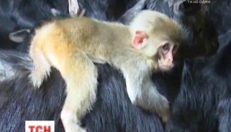 Стадо горных коз усыновило маленькую обезьянку