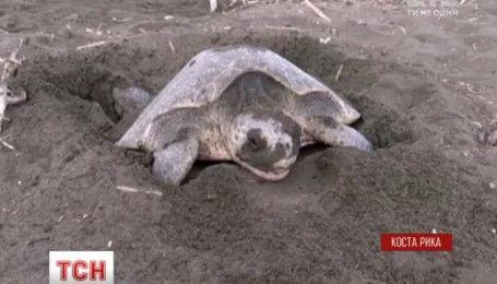 Тысячи черепах приплыли к побережью Коста-Рики, чтобы отложить там яйца