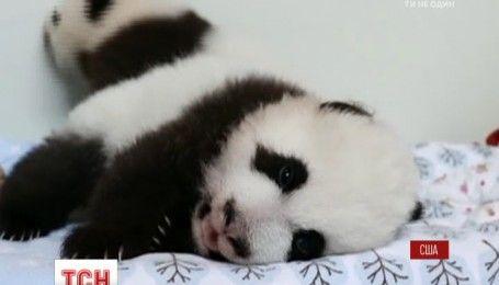 Американский зоопарк выбирает имена для пандят