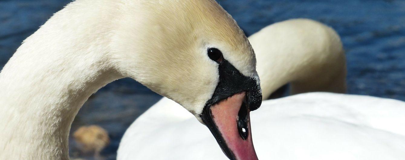Десятки лебедів облюбували для зимівлі береги Дніпра на Оболоні