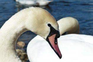 Десятки лебедей облюбовали для зимовки берега Днепра на Оболони