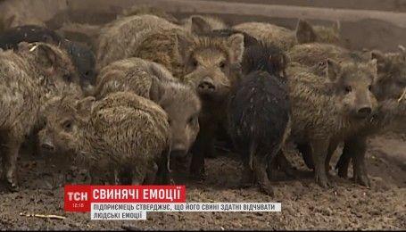 Британські учені встановили, що свині здатні відчувати усі людські емоції