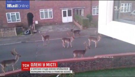 На востоке Англии стадо оленей смело прошлось по улицам города
