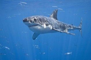 В США сняли, как люди купаются прямо рядом с акулой-людоедом