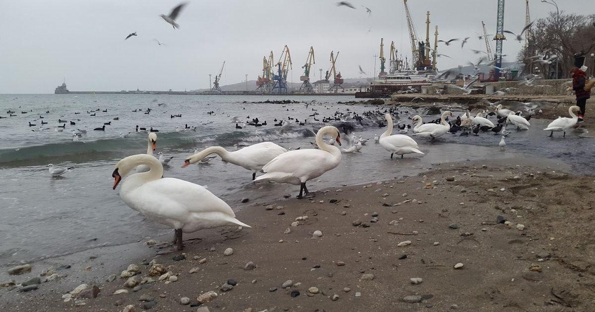 До Феодосії прилетіли лебеді