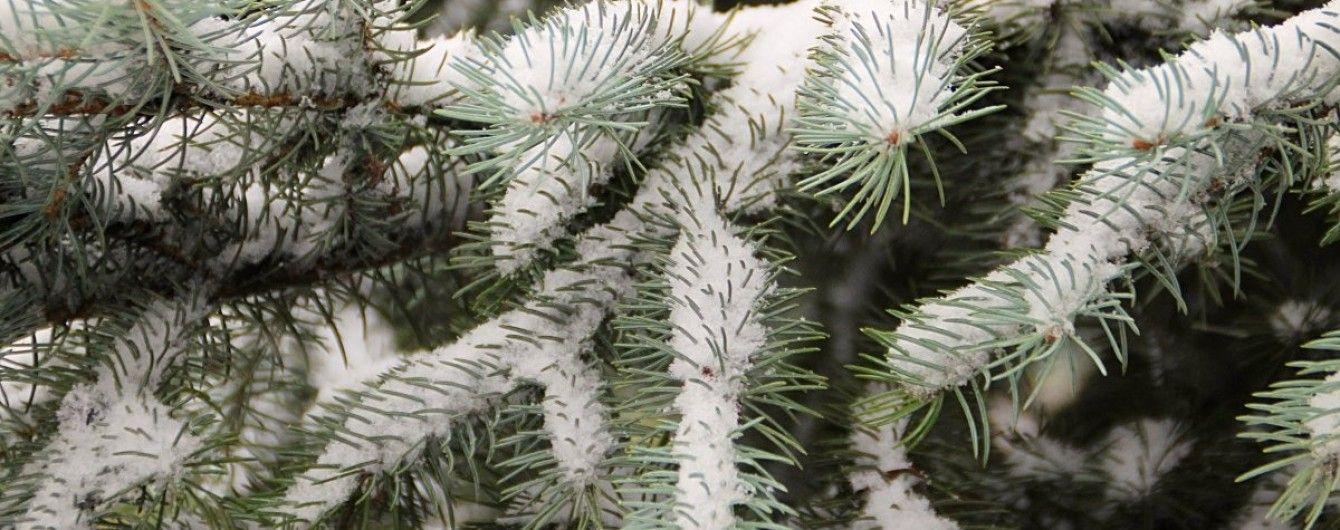 Елки в киевских парках обработают зловонным веществом, чтобы предотвратить воровство