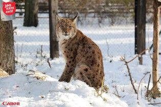 Пушистые рыси и тигры в снегу. Киевский зоопарк показал, как зимуют дикие животные