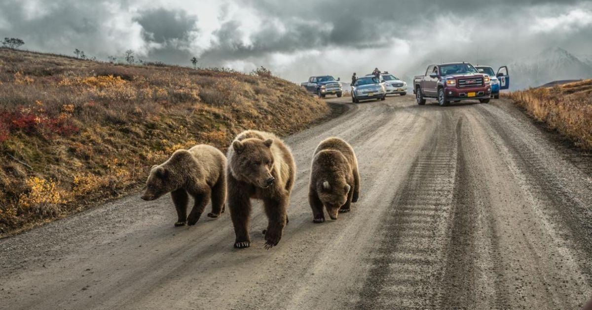 На Алясці, мати грізлі зі своїми ведмежатами @ national geographic