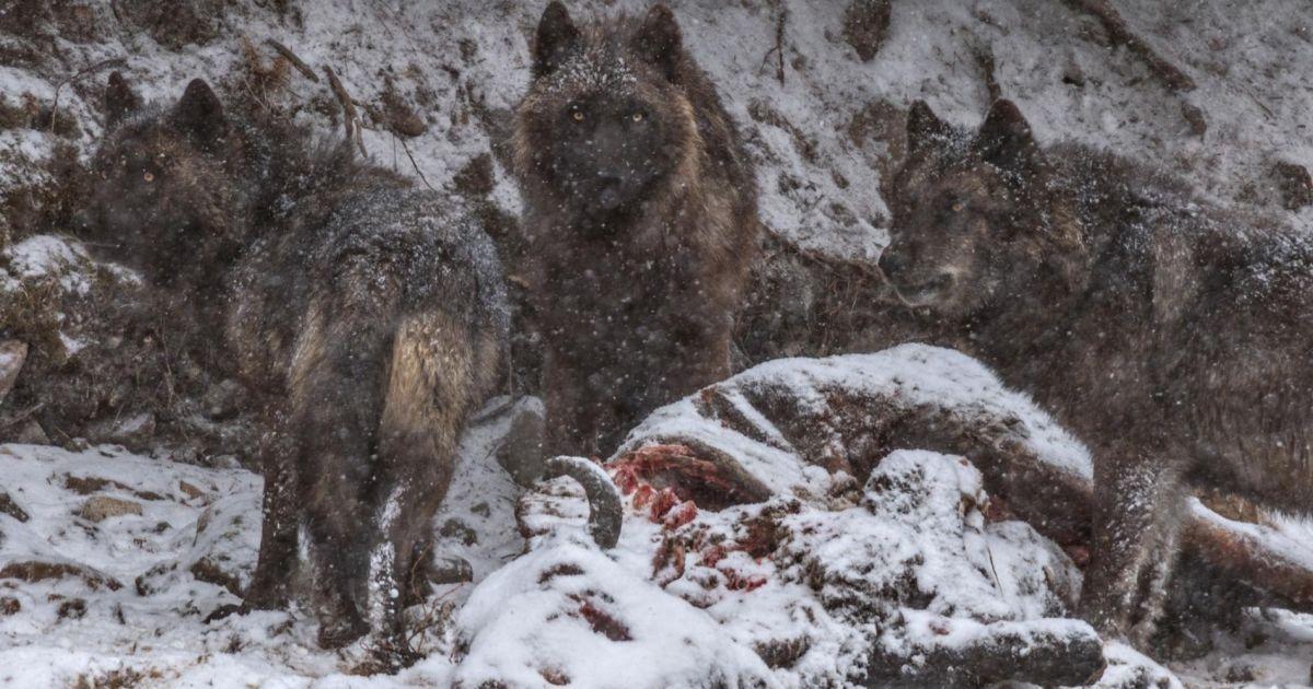 Туша бізона, який потонув у річці Єллоунстоун стала святом для цього вовка і його дворічного сина @ national geographic