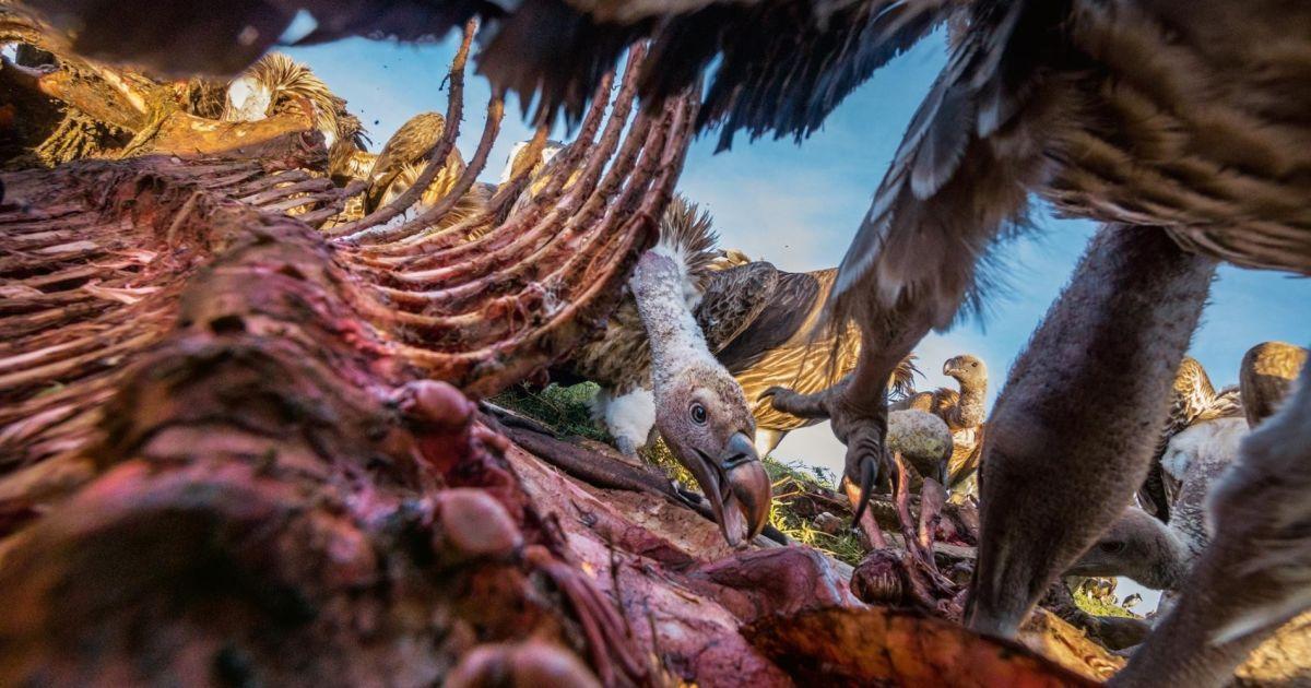 Молодий стерв'ятник з'їдає шматок зебри в Серенгеті. Птахи, які домінують  більше взяли м'яса досхочу, залишивши шкіру і кістки для інших птахів @ national geographic
