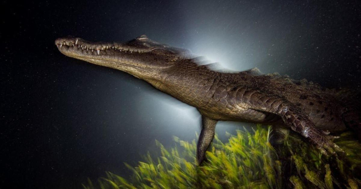 Американський крокодил піднімається з трави, щоб повернутися в лабіринт мангрових коренів, які пропонують майже непроникний притулок для його здобичі @ national geographic
