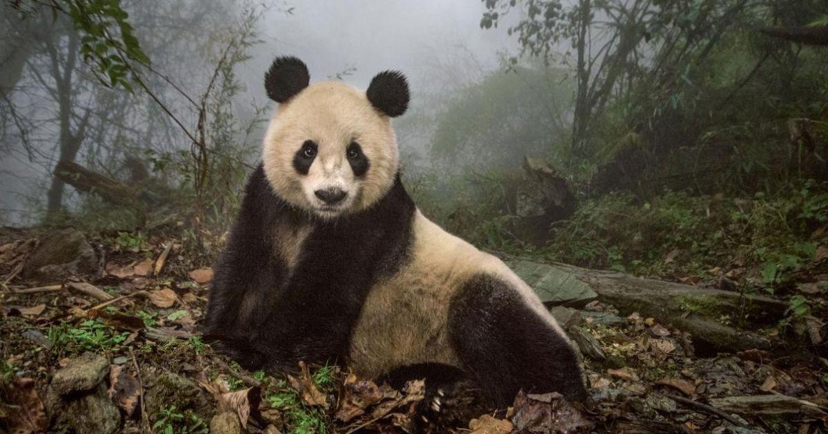 16-річна панда Йе Йе у китайському заповіднику Волонг @ national geographic