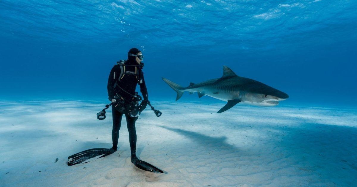 """Дайвер дивиться на тигрову акулу на Багамах. Але ситуація насправді не така небезпечна, як виглядає: """"тигри"""" рідко нападають на аквалангістів, які тримають їх у полі зору @ national geographic"""